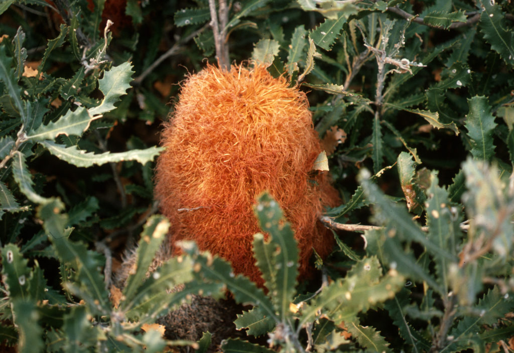 Like most banksias, the woolly or teddy-bear banksia, Banksia baueri, has its peak flowering in late autumn/early winter. Image: CSIRO.