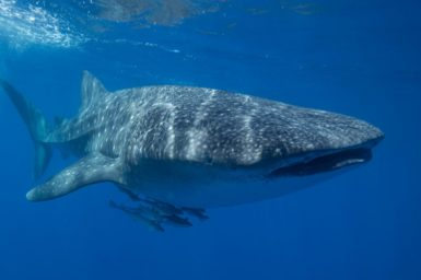 CSIRO tracks and monitors the movements of whale sharks