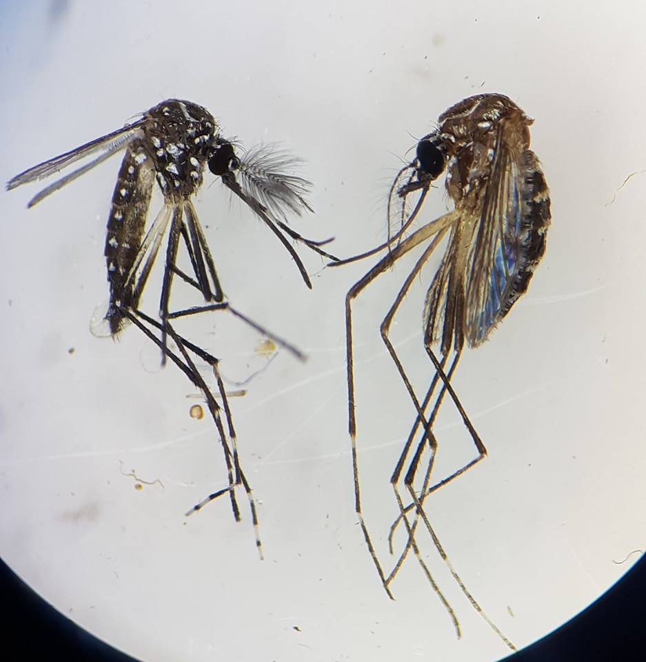 Male (L) and female (R) Aedes aegypti mosquitoes under a microscope. The male has feathery antennae, designed to locate females by their smell and specific wingbeat sound.