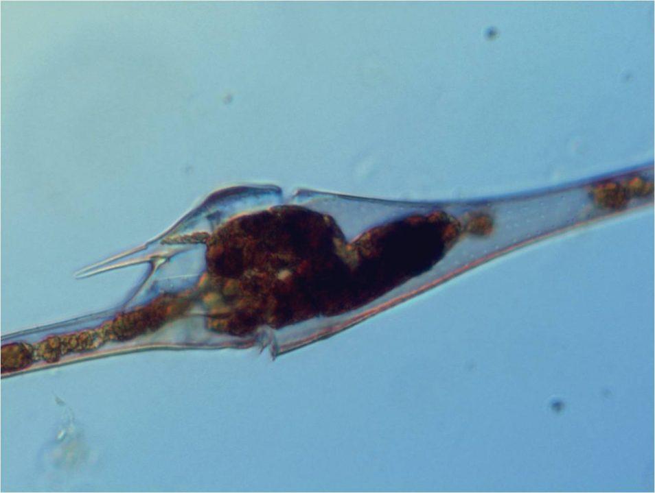 Marine dinoflagellate Ceratium
