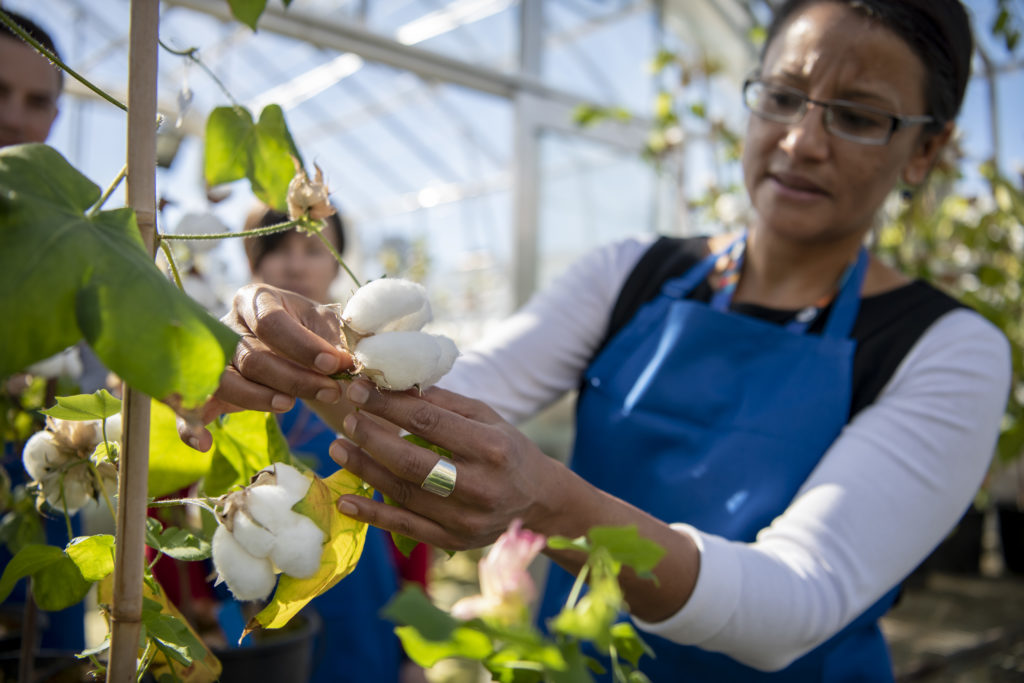 Researchers inspect cotton plants in the glasshouse.