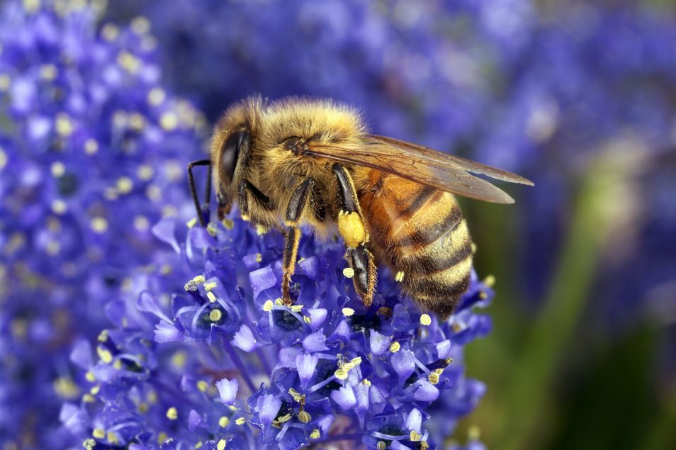A Honeybee collecting pollen on a flower