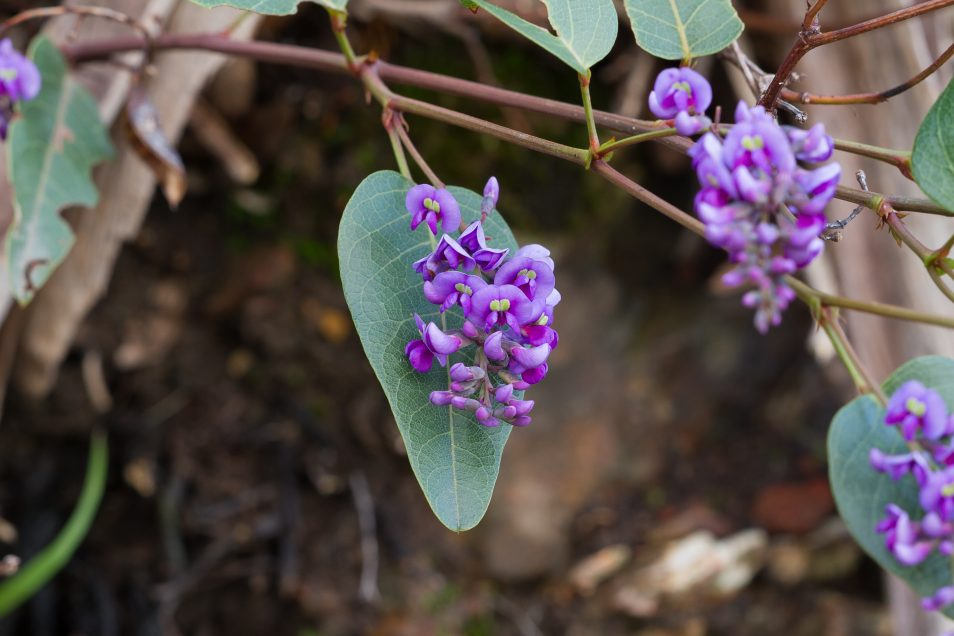 Native purple flowering plant