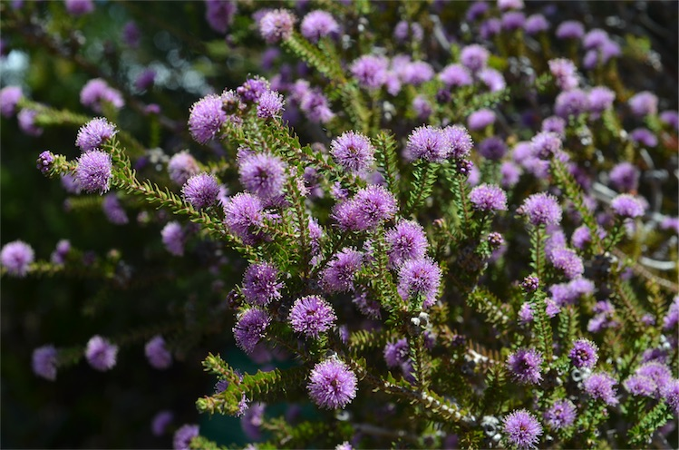 A native purple flowering plant