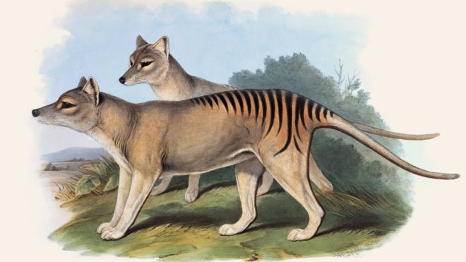 A painting of two Tasmanian tigers standing – tan coloured dog like animals with black tiger stripes on back and tail.