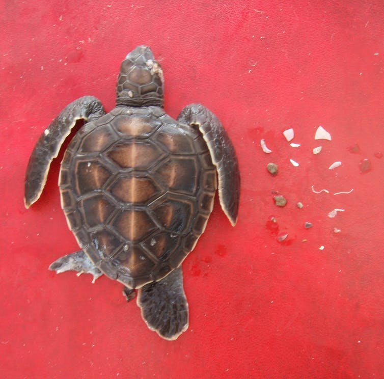 A baby turtle next to the many pieces of plastic it had eaten shortly after hatching