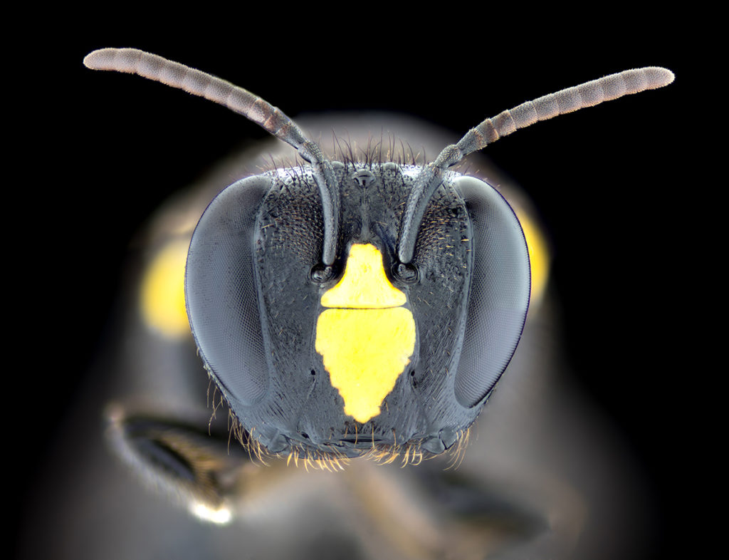 An extreme close up of a native Australian bee head pointing towards the camera