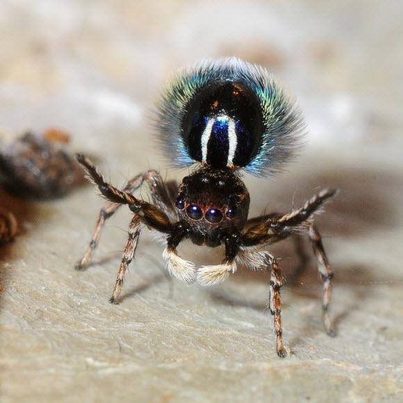 Maratus fimbriatus. Image: Stuart Harris