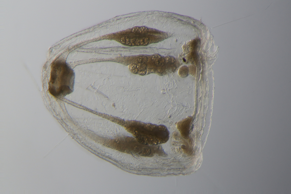 Side view of the newly-discovered antrichardsoni jellyfish