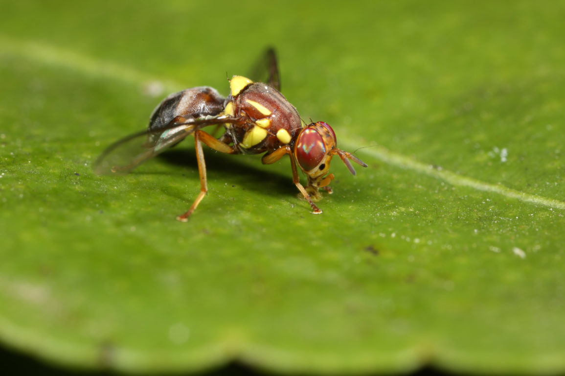 A brown and yellow fly sits on a green leaf.