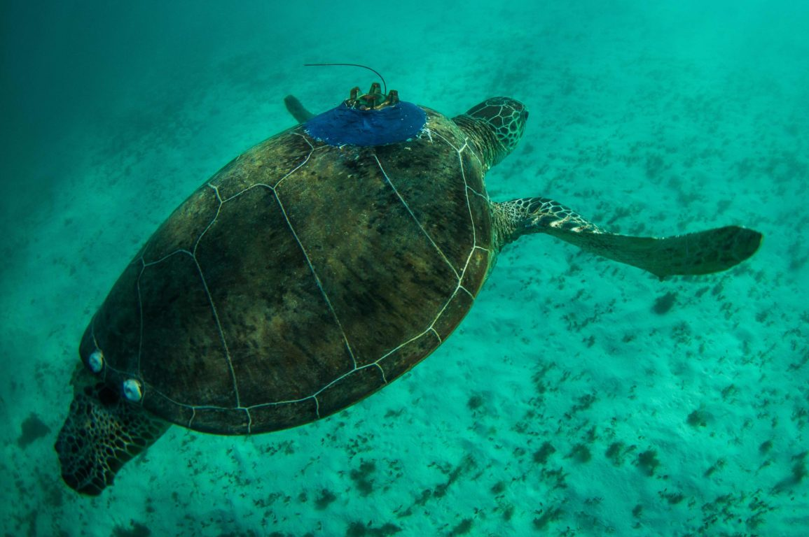Turtle on a beach at Ningaloo Reef with a satellite tracker attached
