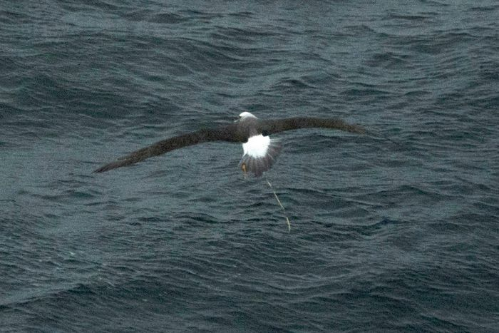 Albatross with balloon string