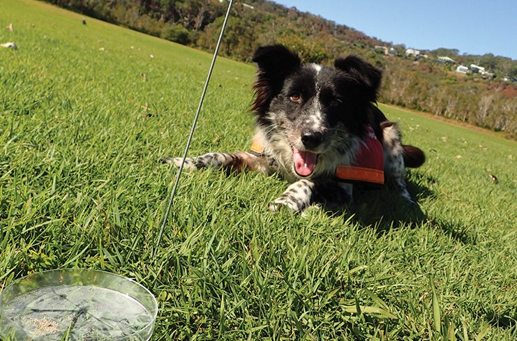 A Koala detection dog sits on the grass next to a small dish with a pink flag