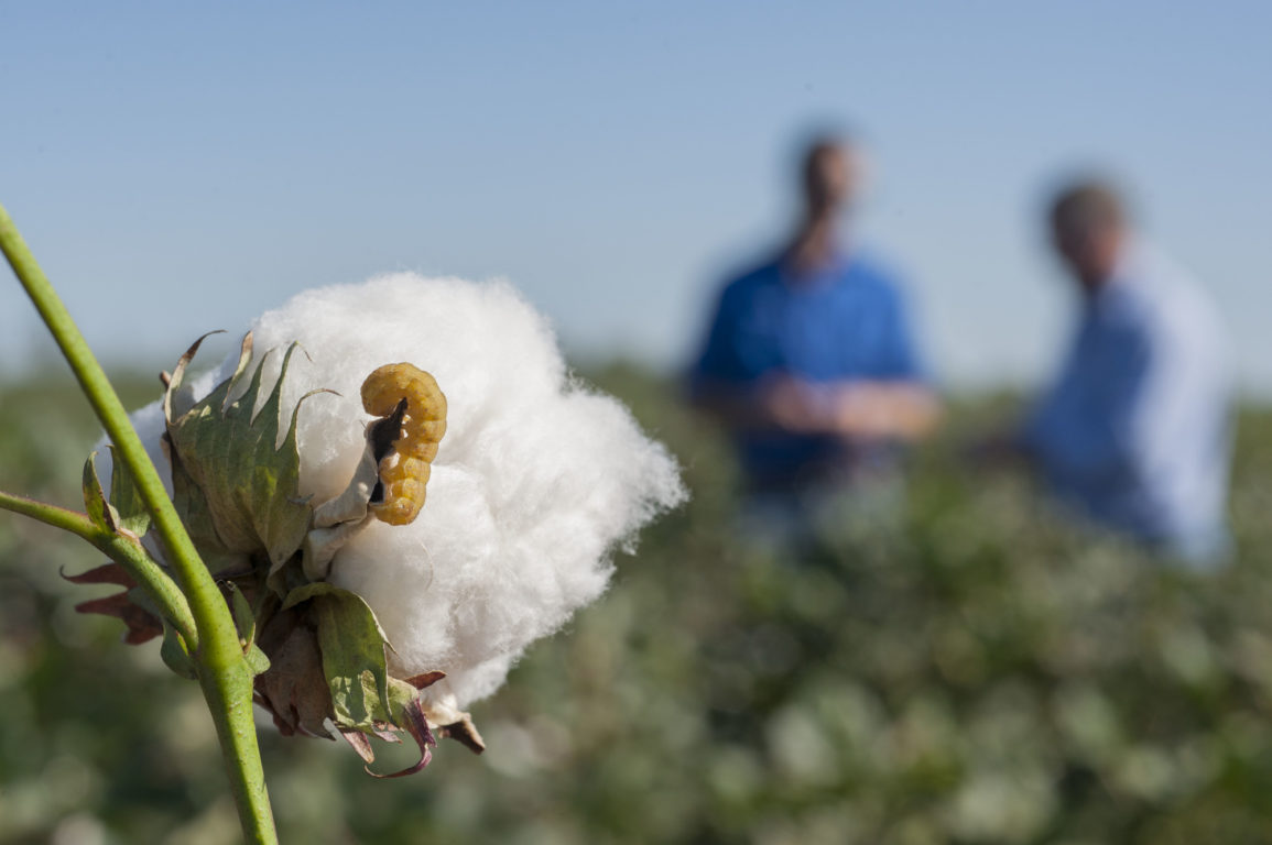 An insect, the cotton bollworm, feeds on a cotton boll.