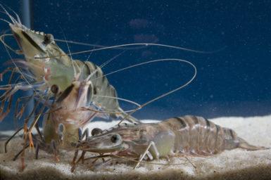 Three prawns in a tank.
