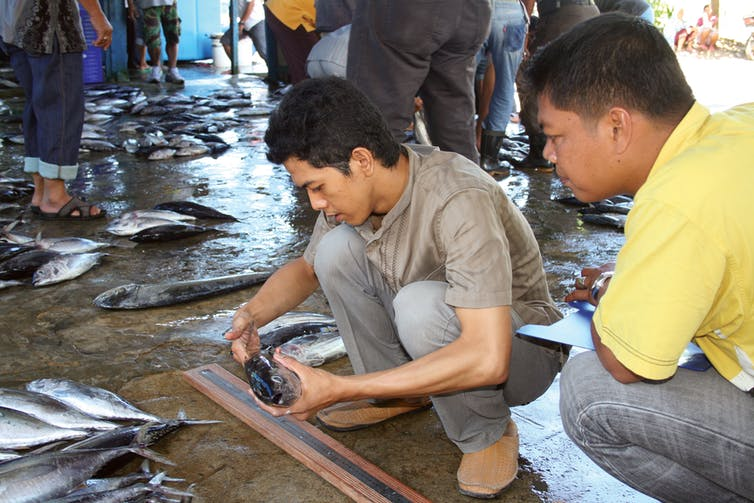Fisheries staff tasked with identifying fish catches; juvenile tuna; Padang in West Sumatra. Craig Proctor, Author provided (No reuse)