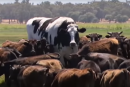 really big black and white cow among wagyu cattle to show scale