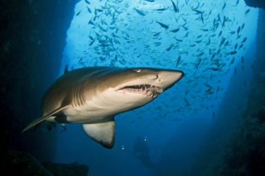 """Gnarly gnashes: in South Africa the grey nurse shark is known as """"ragged tooth"""" for the rows of pointy teeth. Photo credit: David Harasti"""