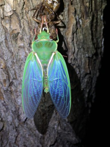 A bright green cicada recently shed on a tree trunk. Its wings fade from green to a translucent blue.