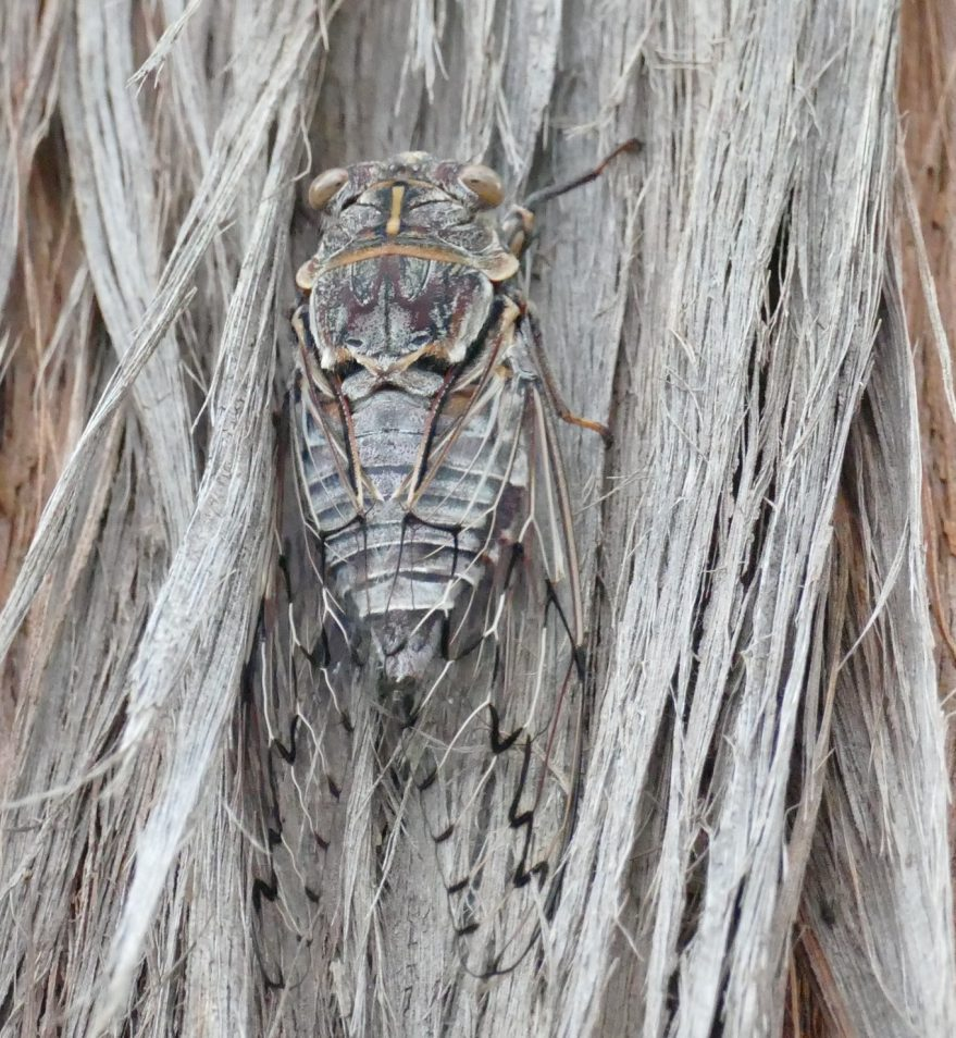 A grey and brown cicada blending into the bark of a similar coloured tree.