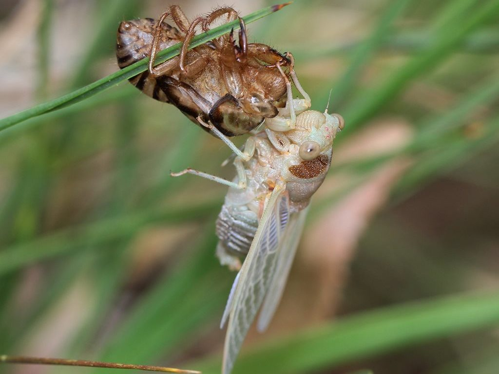 A cicada hanging on to a a blade of grass where its recently shedded shell is also hanging.