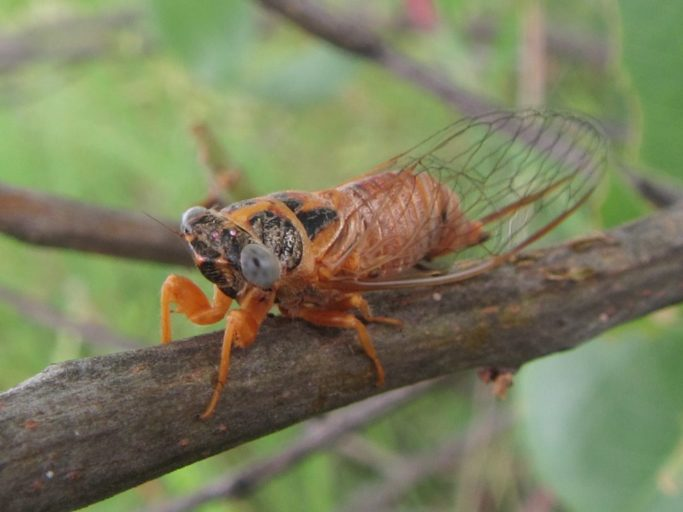 An orange coloured cicada sits on a brown twig