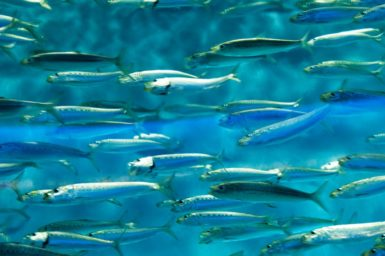 A school of sardines