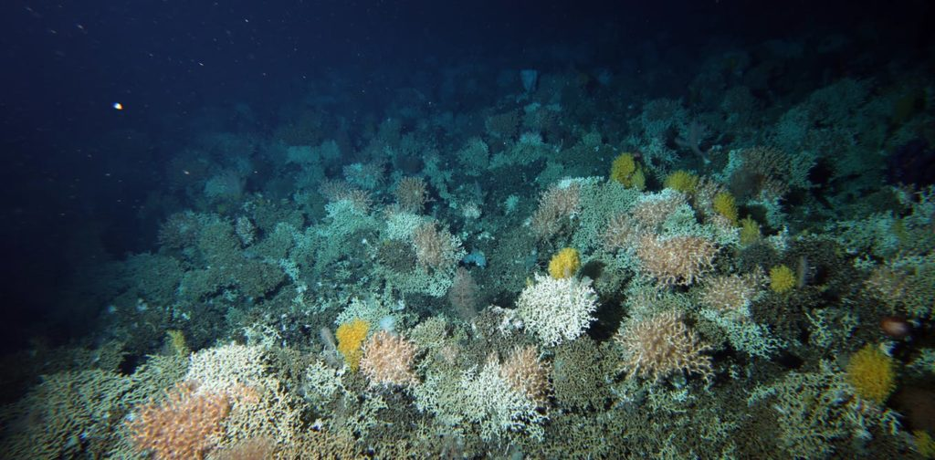 Solenosmilia coral reef with unidentified solitary yellow corals.