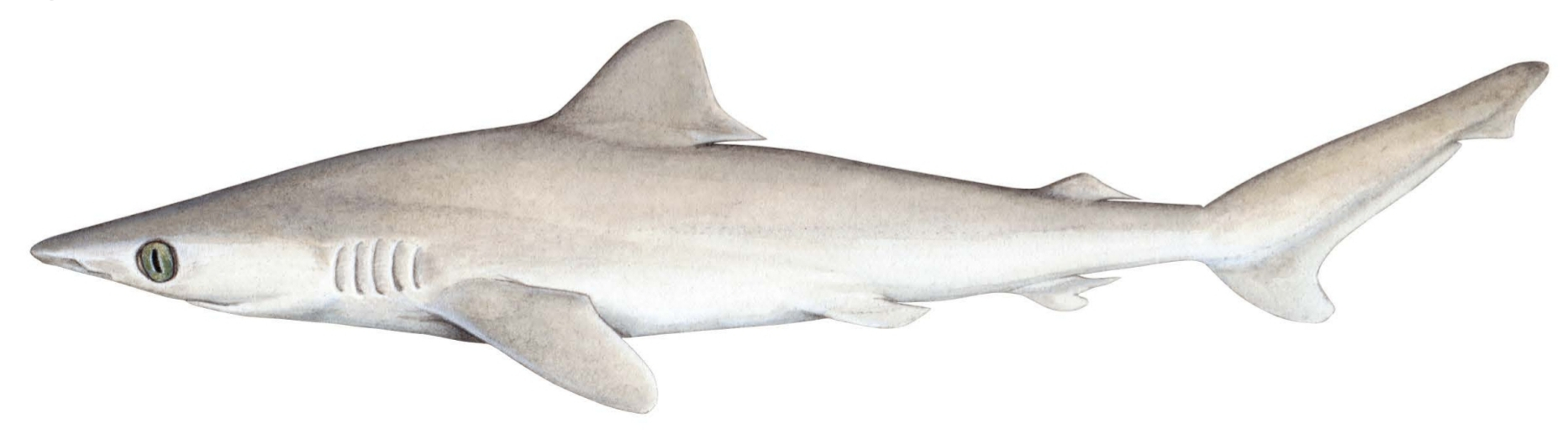 An artist's impression of what the shark may have looked like, based on the earlier picture.
