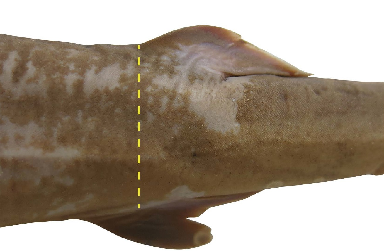 A photograph of a tail section of a shark specimen on a white background with a dotted yellow line running down the shark's side.