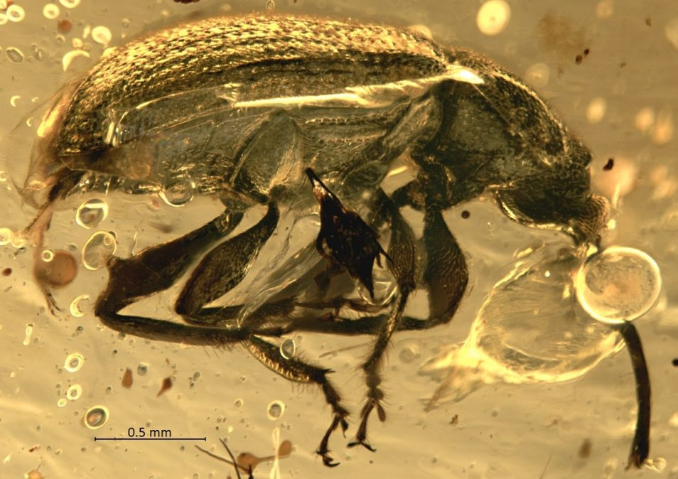 A high-resolution close-up of the weevil specimen from the first two images, showing intricate details of the fossilised weevil and impurities in the amber which obscure the specimen.