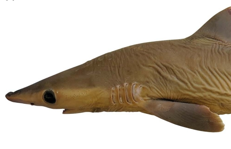 preserved shark specimen, shown head-to-tail from the side on a white background.