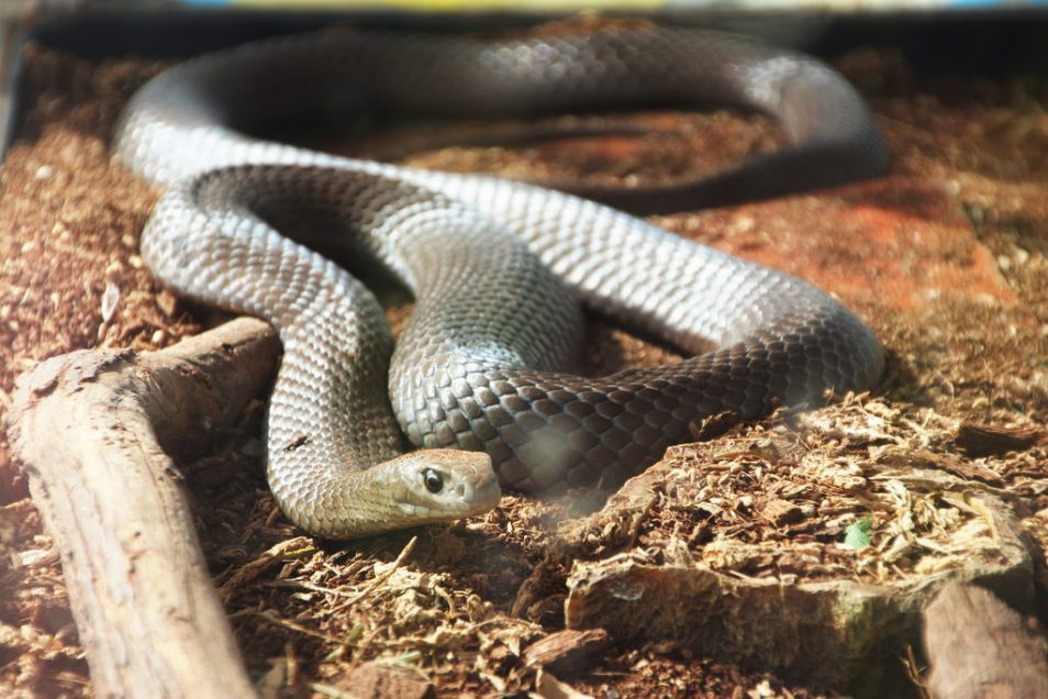 An Eastern Brown Snake on the ground in between logs