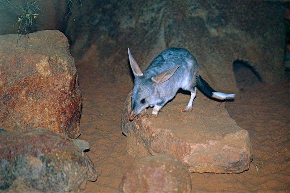 A picture of a bilby resting on top of stones.