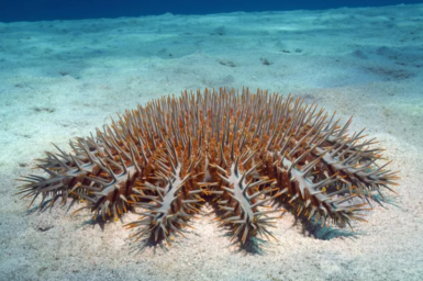 A close up image of a large crown of Thorns starfish sitting on the ocean floor.