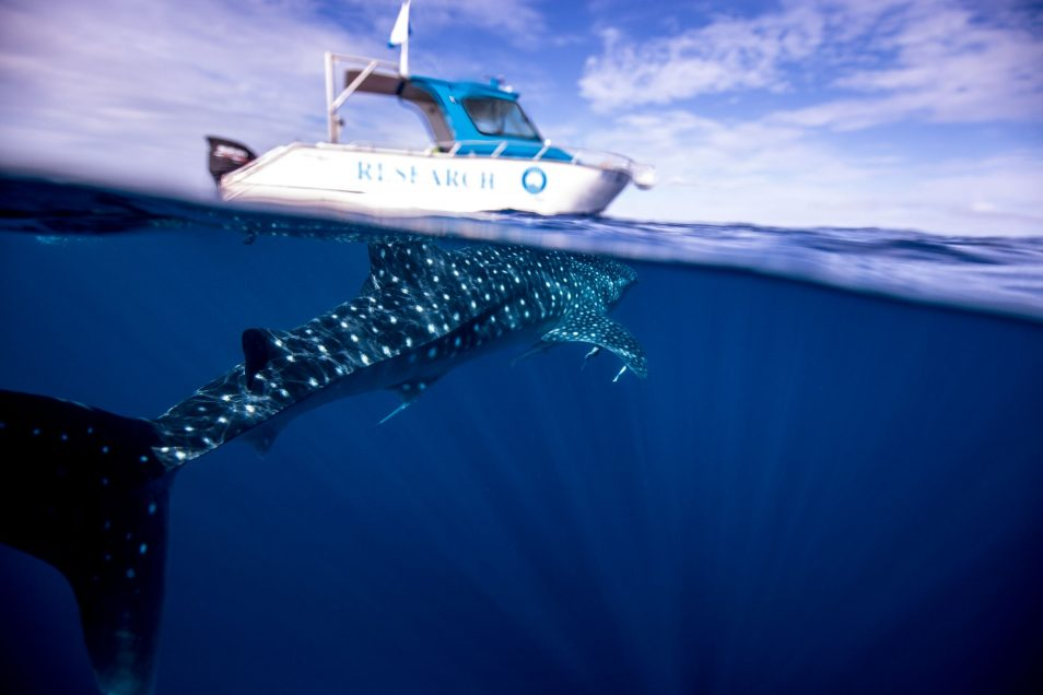 A white CSIRO research boat floats above a whale shark in Ningaloo.
