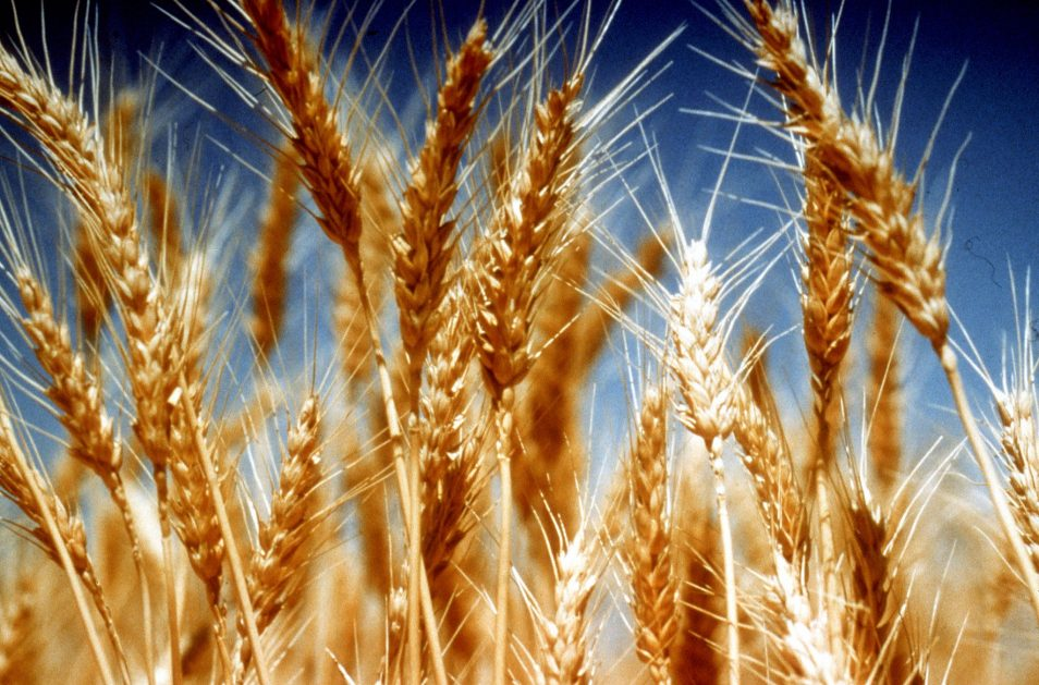 A close up picture of wheat in a field.
