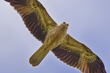 A large Whistling Kite against a blue background