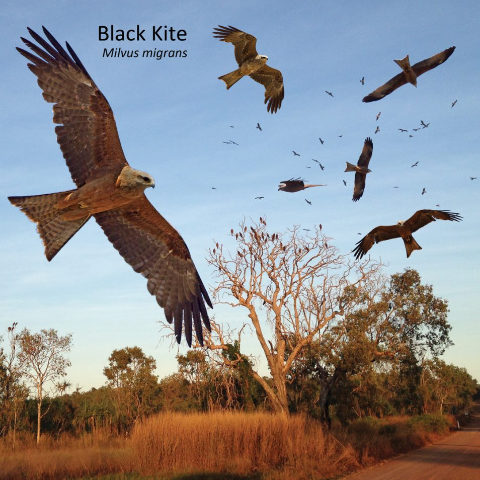 The Black Kite in different angles against a blue sky and bush landscape