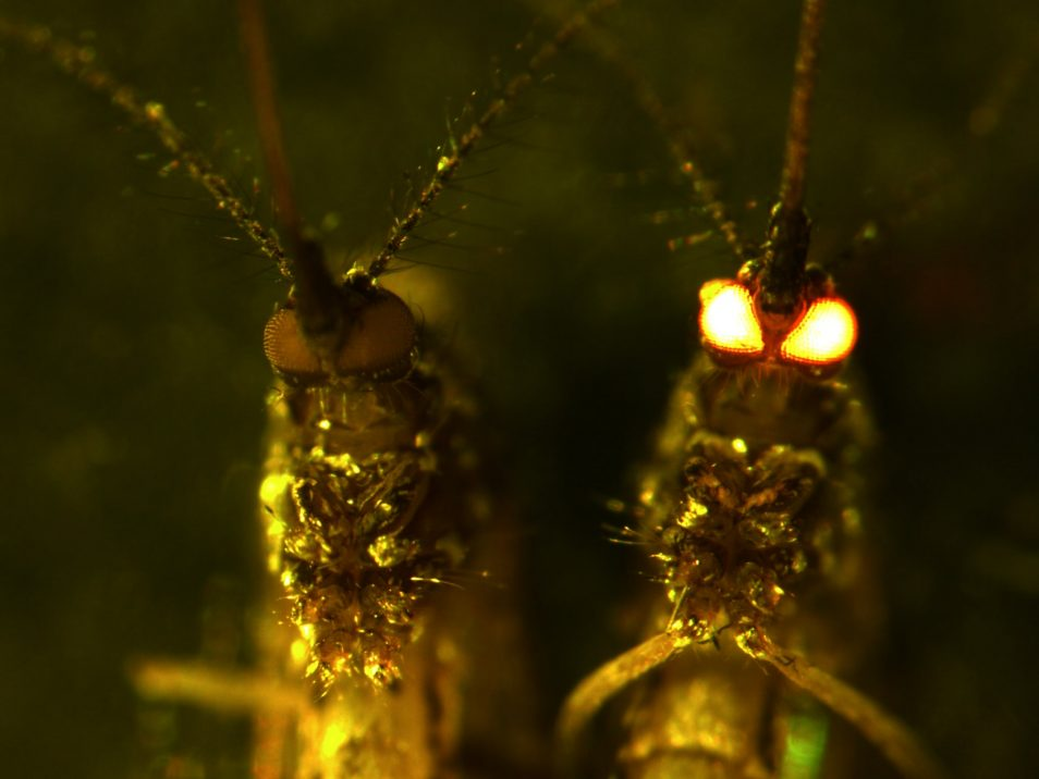 A close-up of two mosquitoes, with one's eyes glowing red in the dark.