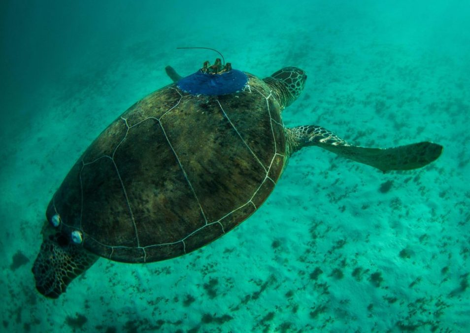 A green turtle swims underwater with a satellite glued to its back.