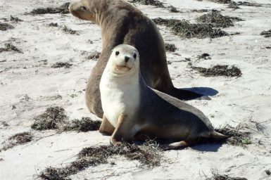 A picture of an Australian Sea Lion and cub on land.