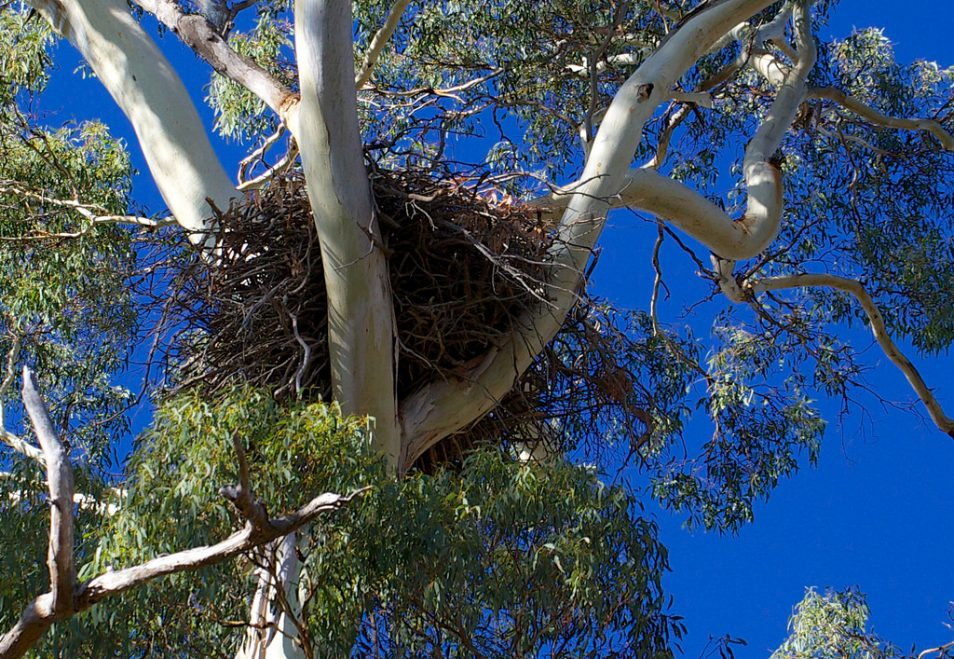 A wedgetail eagle's nest