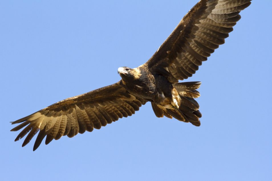 A wedgetail eagle on the wing.