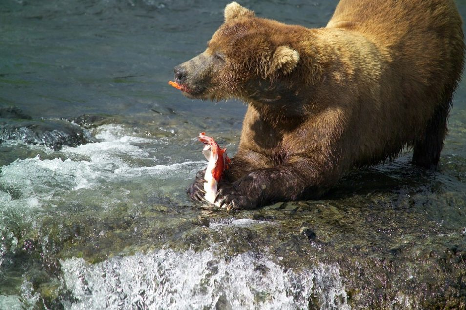 Brown bear eating a salmon in the river