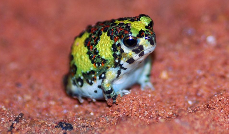 A crucifix frog is a small yellow, red and black amphibian with a cross on its back. Here it sits on wet red sand.