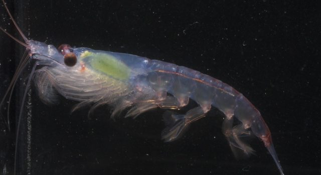 Picture of a krill against a black background