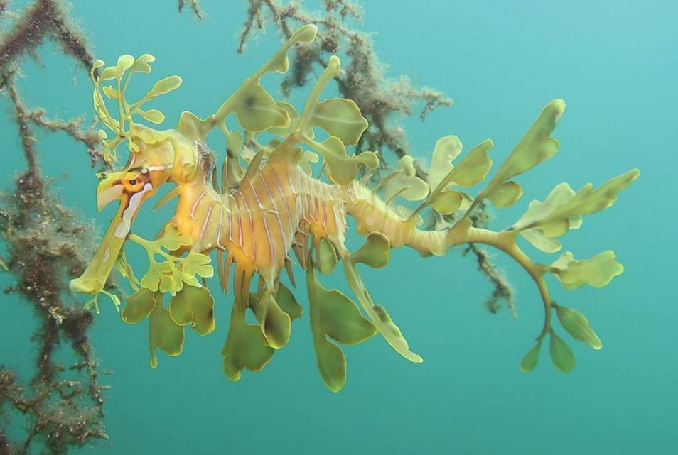 A picture of a leafy sea dragon