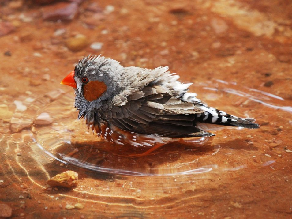 A picture of a zebra finch - a small Australian bird - in a puddle of water, cooling down.
