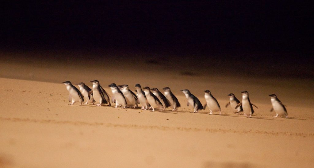 A parade of Little Penguins on Phillip Island.